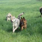 Chien loup tchèque et Berger allemand en tête de cours