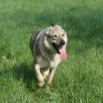 Chien-loup tchécoslovaque qui halète en trottinant