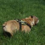 Bulldog anglais en station debout