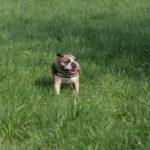 Bulldog qui halète dans une prairie