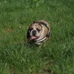 Bulldog anglais qui se balade dans une prairie