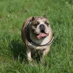 Bulldog marchant dans l'herbe