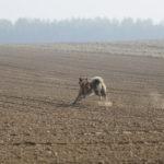 Akita galopant dans les champs