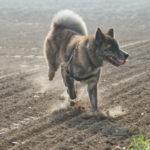 Akita dans un champ labourré