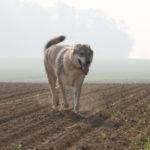 Chien-loup Slovaque dans un champ labourré