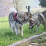 Un Malamute d'Alaska avec un Chien-loup tchèque