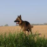 Beau Berger allemand dans un champ labourré