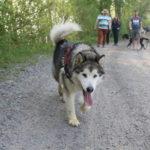 Malamute d'Alaska qui court sur le chemin
