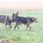 Berger allemand trottinant à coté d'un autre chien