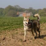 Chien-loup tchécoslovaque marchant dans le champ