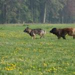 Berger allemand et Berger portugais qui courent dans une prairie