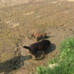 Labrador retriever et chiot malinois dans la boue