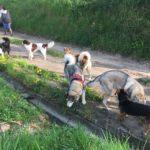 Joli Beagle avec Chien loup tchécoslovaque et Malamute d'alaska