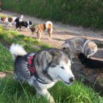 Malamute, Beagle, Chien loup, Akita, Border et Epagneul