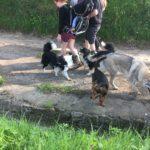 Border collie, Berger australien et Beagle avec Chien loup tchécoslovaque