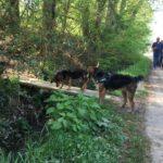 Beagle sur un petit pont