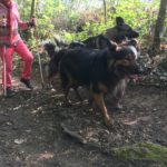 Berger allemand en randonnée canine