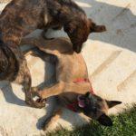 Chiot malinois couché devant un chien adulte