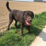 Labrador retriever en bordure de champ