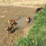 Malinois avec les pattes dans la boue