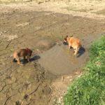 Malinois pataugeant dans la boue