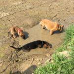 Malinois et Beagle dans la boue