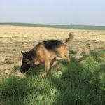 Joli Berger Allemand dans un champ