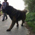 Berger portugais trottinant sur la route de campagne