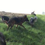 Berger allemand avec Berger australien dans l'herbe