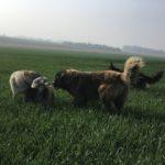 Jeux dans le champ pour Bergers et Chien-loup