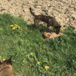 Jeux entre chiot malinois et un autre chien