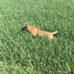 Chiot malinois sautant dans le champ