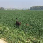 Deux petits chiens jouant dans le champ