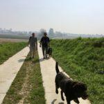 Labrador retriever gambadant devant un Bouvier bernois