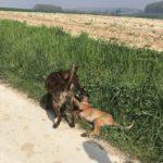 Chiot malinois jouant avec un chien adulte