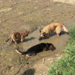 Beagle et Malinois qui boivent dans une flaque