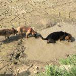 Beagle avec les pattes dans la boue