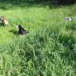 Chiens qui s'amusent dans les hautes herbes