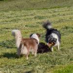 Deux bergers australiens explorant une prairie