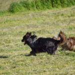 Deux bergers australiens qui courent dans un champ