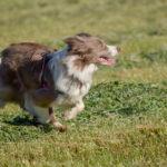 Berger australien galopant dans le vent