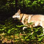 Chien-loup tchèque marchant dans les fougères