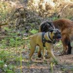 Chien de montagne portugais et Bullmastiff