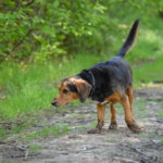 Joli Beagle observant son environnement