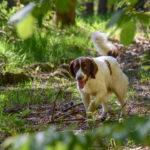 Belle photographie d'un épagneul en forêt