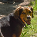 Très jolie photographie d'un beagle