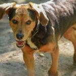 Beagle très attentif
