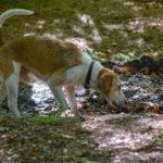 Petit chien qui marche dans la boue