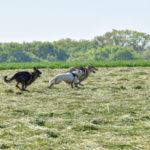 Berger allemand, berger blanc et chien-loup en pleine course dans un champ