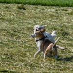 Deux petits chiens qui jouent